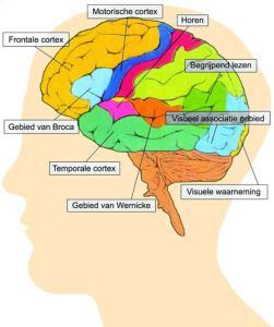 13-15-hersenen