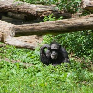 04 chimpansee